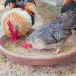 Keep Your Chickens Happy With Homemade Treats