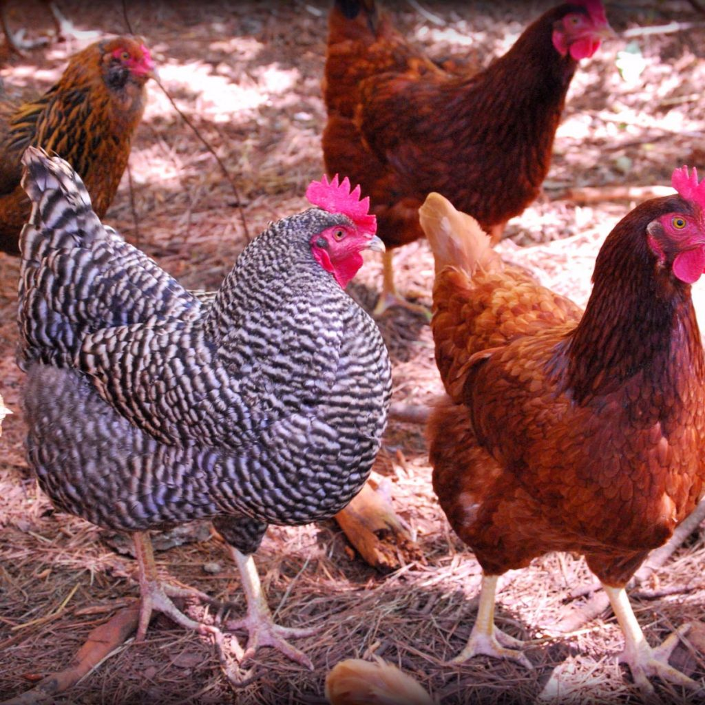 3 Best Egg Laying Chickens For Your Backyard - Chicken In ...