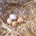 How Many Eggs Do Chickens Lay A Day