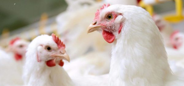 Tips To Stop Chickens From Pecking One Another