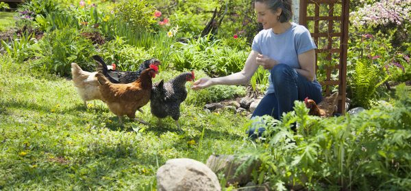 A-Z About Free Range Chicken Farming